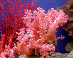red coral in sea